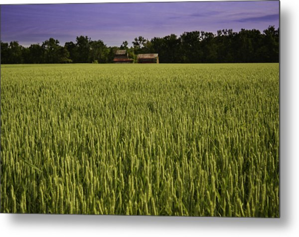 Virginia Wheat Field Metal Print