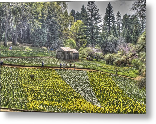 Visitors On Daffodil Hill Metal Print