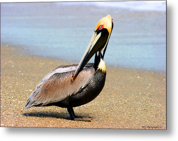 Wadding Pelican  Metal Print