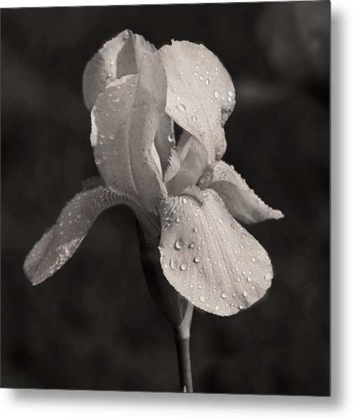Waiting On The Iris Metal Print by Mamie Thornbrue