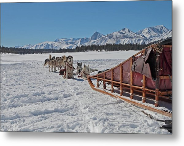 Waiting Sled Dogs  Metal Print