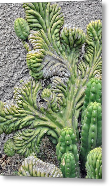 Wall Cactus Metal Print by Misty Stach