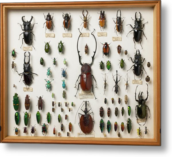 Wallace Collection Beetle Specimens Metal Print by Natural History Museum, London/science Photo Library