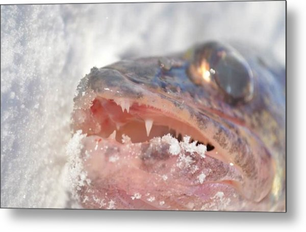 Walleye Teeth Metal Print