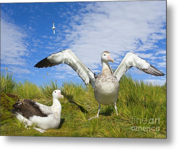Wandering Albatross Courting  Metal Print