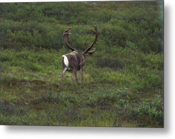 Wandering Caribou Metal Print