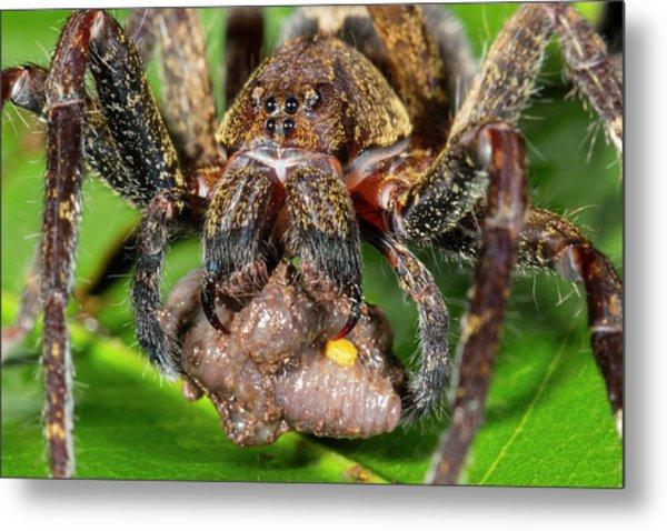 Wandering Spider Feeding Metal Print by Dr Morley Read
