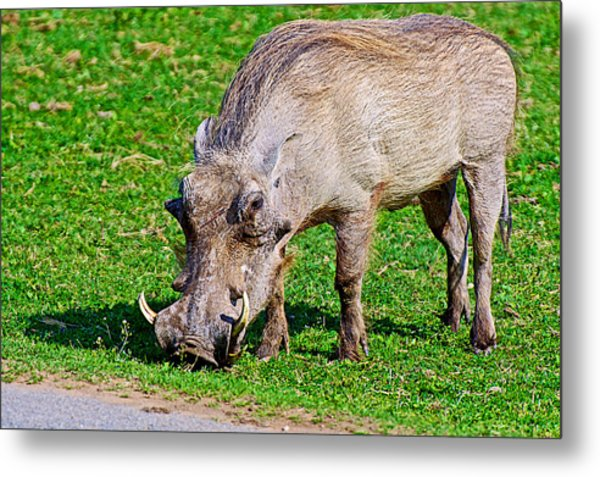 Warthog In Addo Elephant Park Near Port Elizabeth-south Africa  Metal Print