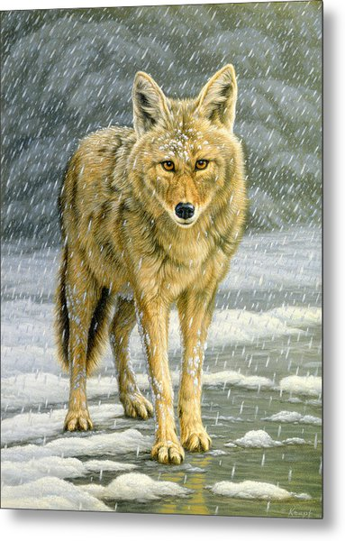 Wary Approach - Coyote Metal Print