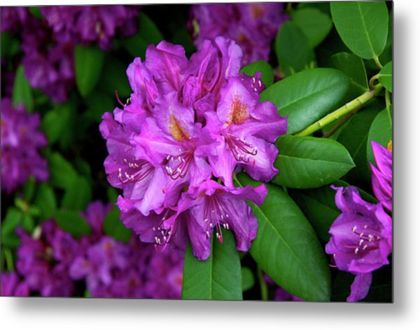 Washington Coastal Rhododendron Metal Print