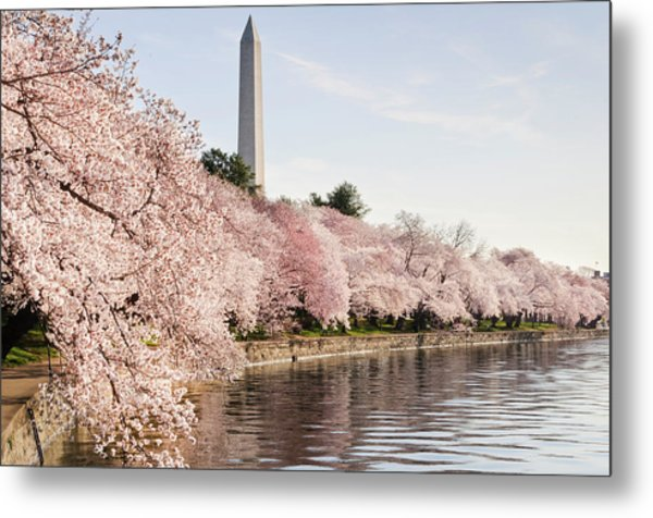 Washington Dc Cherry Blossoms And Metal Print by Ogphoto
