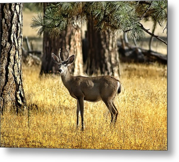 Watchful Young Buck Metal Print