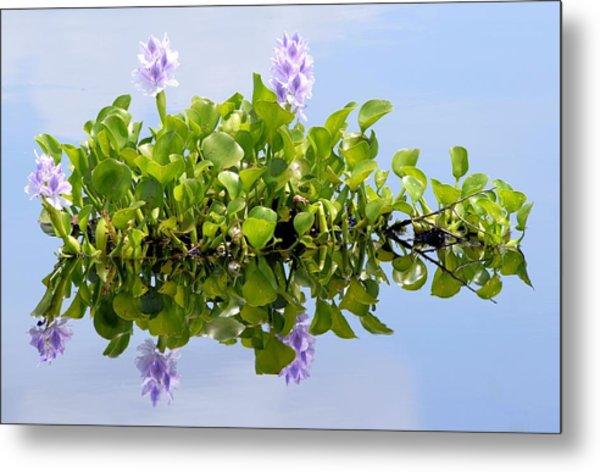Water Hyacinth 1 Metal Print by Sheri McLeroy