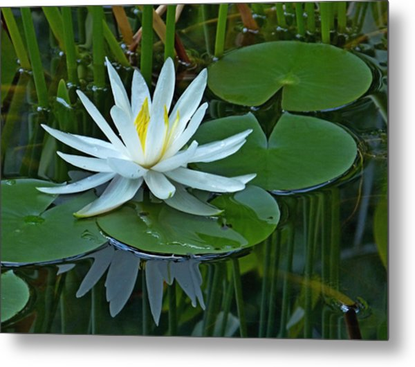 Water Lily And Reflection Metal Print