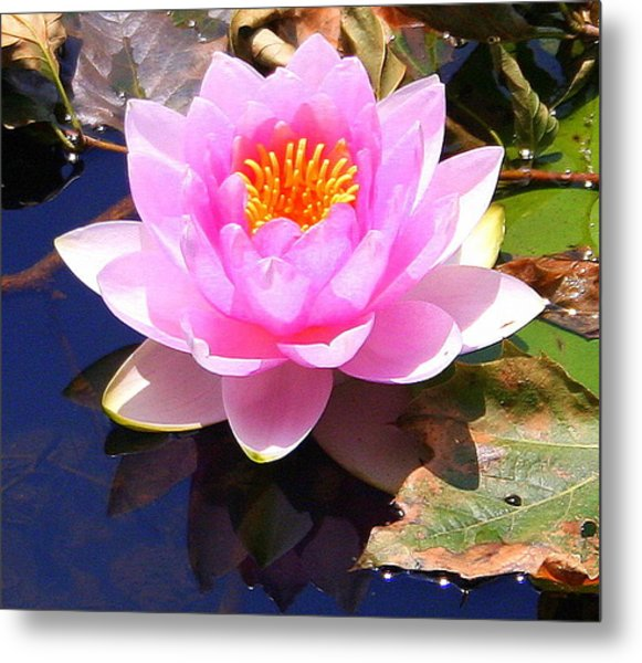 Water Lily In Pink Metal Print