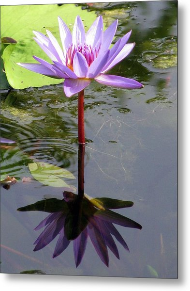 Water Lily - Shaded Metal Print