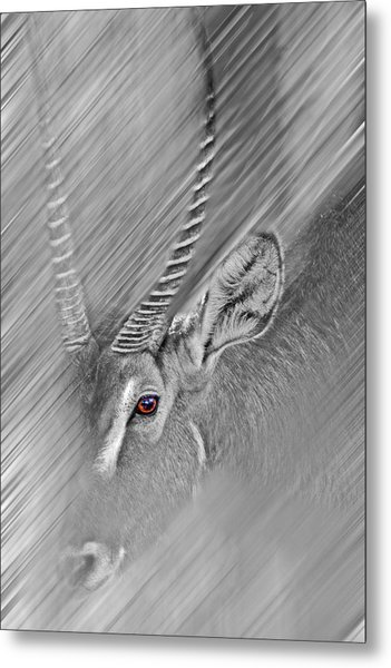 Waterbuck Metal Print
