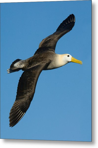 Waved Albatross Diomedea Irrorata Metal Print