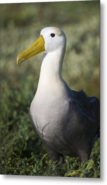 Waved Albatross Metal Print