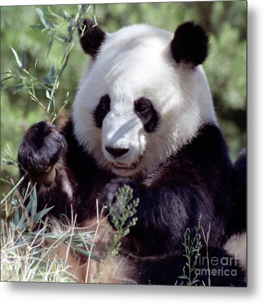 Waving The Bamboo Flag Metal Print