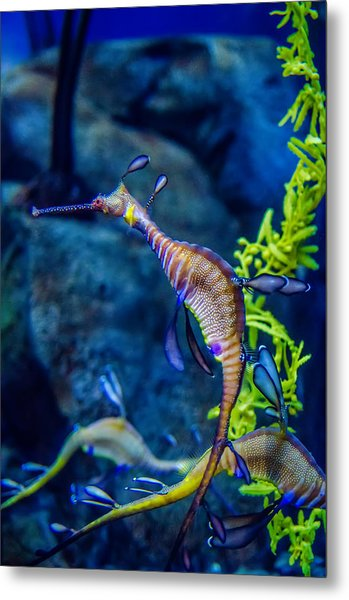Metal Print featuring the photograph Weedy Seadragon by Alex Grichenko