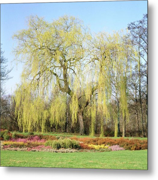 Weeping Willow Tree Metal Print by Anthony Cooper/science Photo Library
