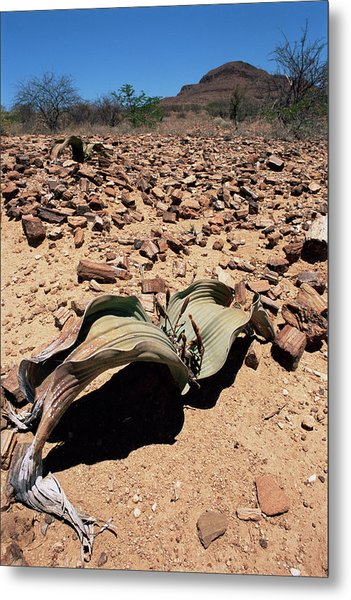 Welwitschia Mirabilis In Petrified Forest Metal Print