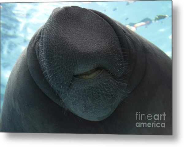 West Indian Manatee Smile Metal Print