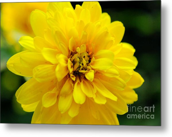 West Virginia Marigold Metal Print