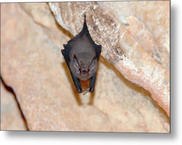 Western Sheath-tailed Bat Metal Print