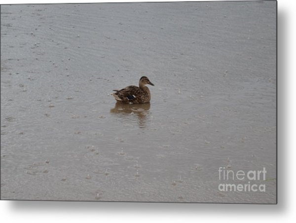 Wet Duck Metal Print