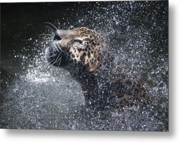 Wet Jaguar  Metal Print