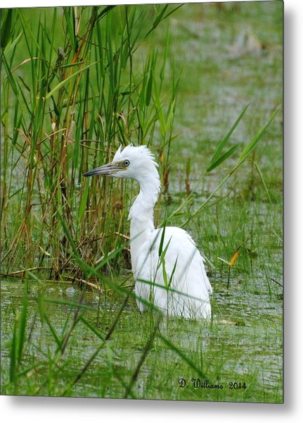 Wet Juvenile Little Blue Heron Metal Print