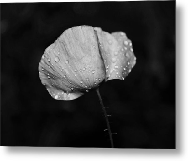 Wet Poppy  Metal Print