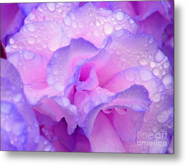Wet Rose In Pink And Violet Metal Print