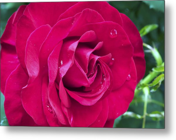 Wet Rose Metal Print by Kenneth Feliciano