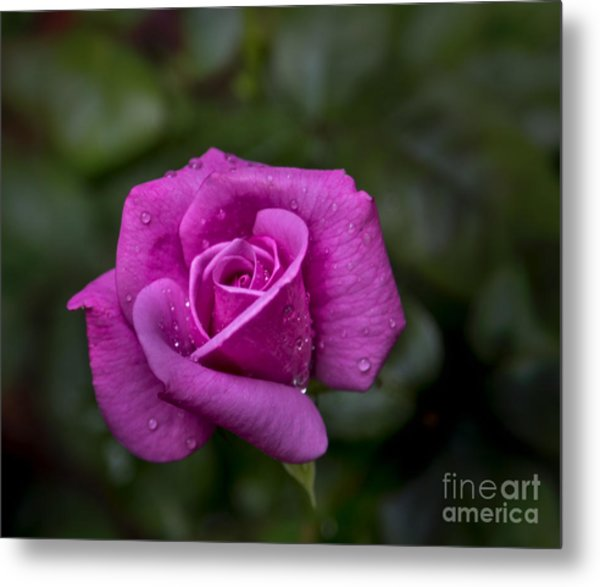 Wet Rose Metal Print