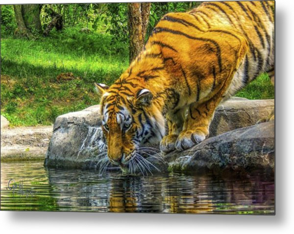 Wet Whiskers Metal Print