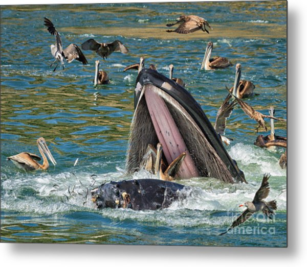 Whale Almost Eating A Pelican Metal Print