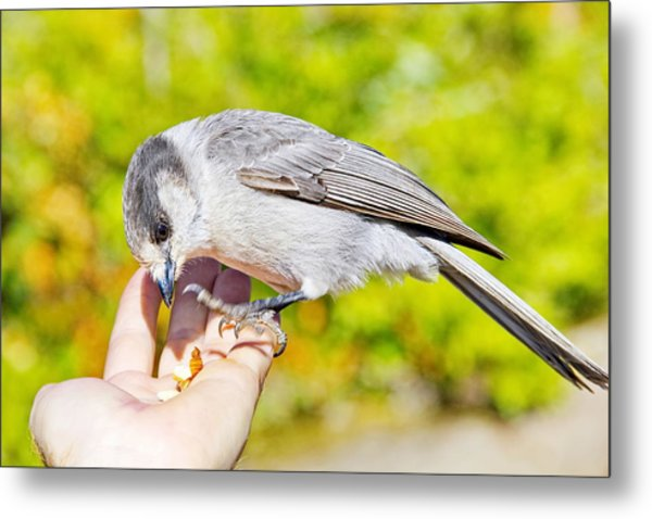 Whiskey Jack Or Gray Jay Eating Nuts From A Hand Metal Print