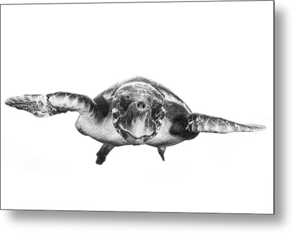 White And Turtle Metal Print