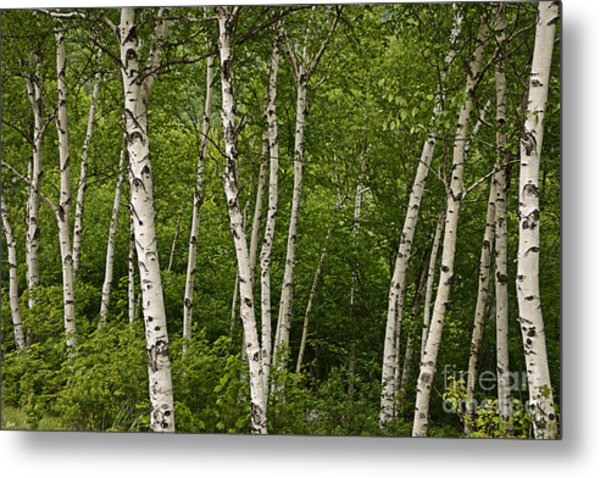 White Birch Metal Print