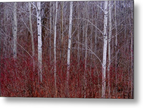 White Birch In The Adirondacks Metal Print