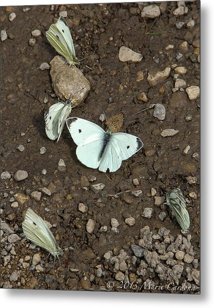 White Cabbage Butterflies Metal Print by Marie  Cardona