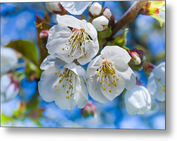 White Cherry Blossoms Blooming In The Springtime Metal Print
