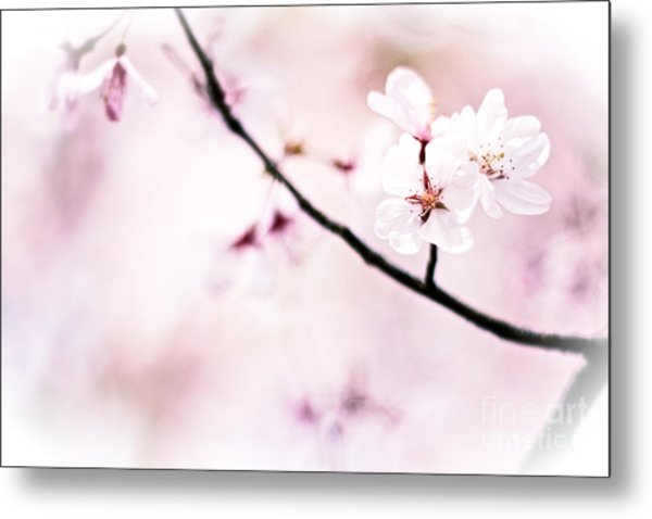 White Cherry Blossoms In The Sunlight Metal Print