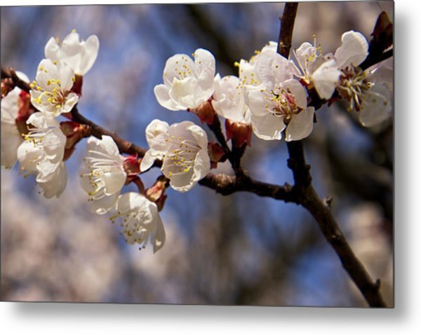 Metal Print featuring the photograph White Cherry Blossoms by Mary Lee Dereske