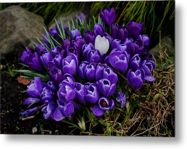 White Crocus On A Field Of Purple Metal Print by Ron Roberts