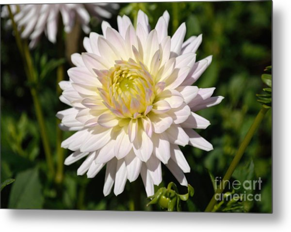 Metal Print featuring the photograph White Dahlia Flower by Scott Lyons