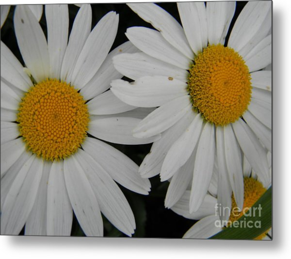 White Daisy In Full Bloom Metal Print